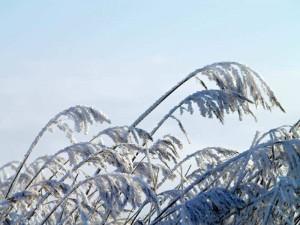 Riedgras mit Schnee
