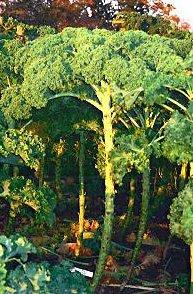 ostfriesische Palme - Grünkohl