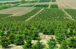 Weihnachtsbaum Plantage