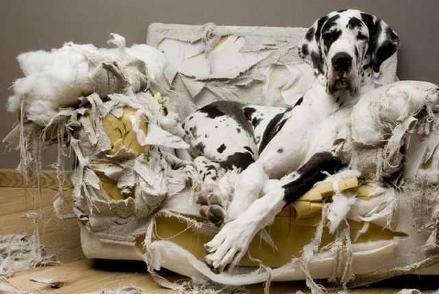 Dogge auf der Couch