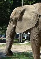 Elefantenohr