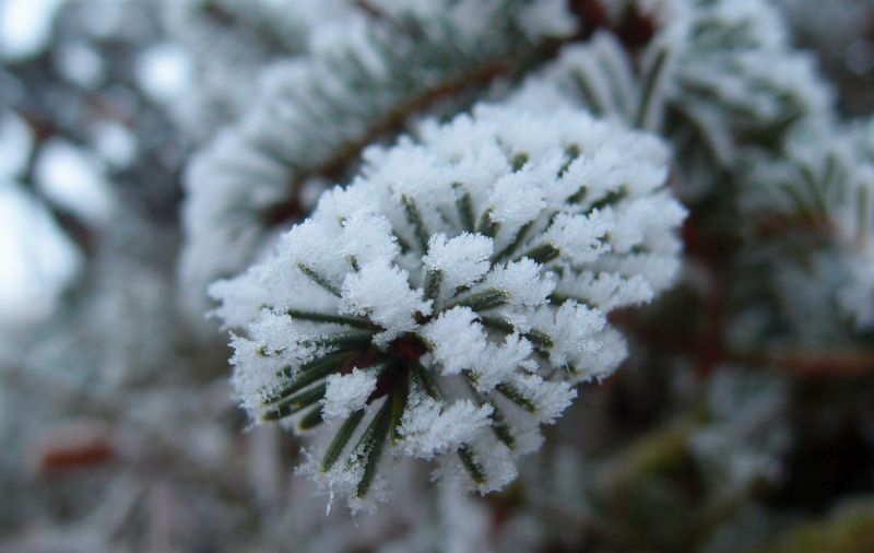 Frost Tannenzweig