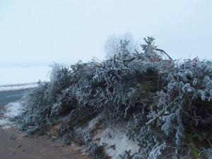 Fichtenzweige Frost