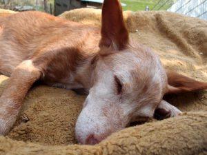 Nelson - Seniorhund