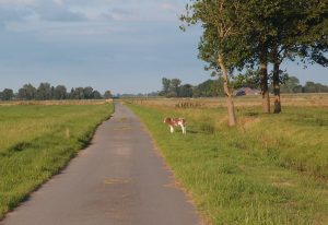 Kalb auf dem Feldweg