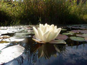 Seerose auf dem Teich