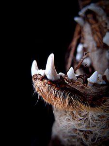 Zähne eines Marders
