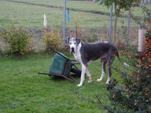 Schubkarre - Dogge